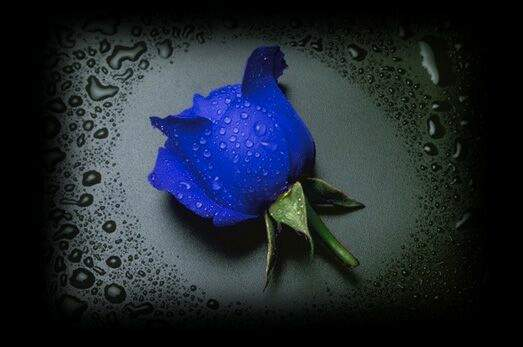 rose-blue-drops-rain